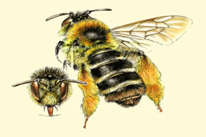 Illustration: Dasypoda hirtipes © J. de Rond